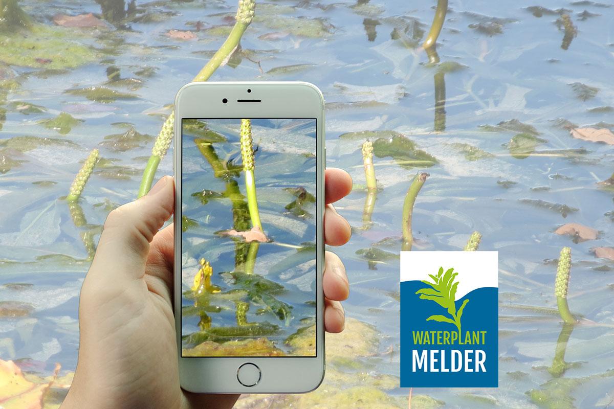 waterplantmelder-waterplanten-fonteinkruid